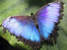 Butterfly Images 9 , picture, image or photo Morpho Butterfly, Blue Butterfly, Butterfly Wings, Beautiful Bugs, Beautiful Butterflies, Beautiful Things, Reserva Natural, Butterfly Pictures, Butterflies Flying