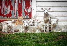 "maisonmimosa: ""http://www.countryliving.com/life/kids-pets/news/a39994/meet-steve-the-cat-that-thinks-hes-a-lamb/?src=socialflowFB """