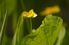 buttercup nature photography countryside scenery wall by Suzannasi