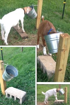 DIY goat feeding stand. All you need is a wooden post, something for them to stand on, and some kind of hook. This is great because while the goats eat they build muscle in their back legs. Great for building muscle on market goats.