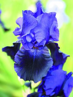 iris-germanica-black-tafeeta-6-gradina-anthesis
