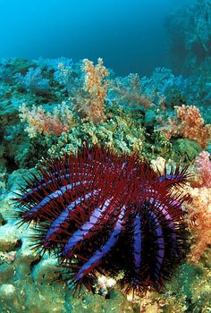 Acanthaster planci Crown of thorns starfish have destroyed parts of the Great Barrier Reef.