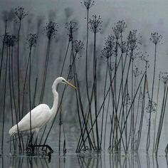 寒露 白鹭Im Schwanenblumenwald (In Swan Flower Forest by Heinz buls. Pretty Birds, Beautiful Birds, Beautiful World, Azul Niagara, White Egret, Photo Animaliere, Mundo Animal, Blue Heron, Bird Watching