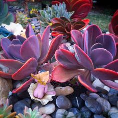 Beautiful stressed echeverias by Belinda Jane Seery