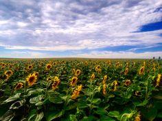 Almádi Ildikó A végtelen napraforgó mező Pusztavám határában készült a kép. Több kép Ildikótól: www.facebook.com/ildiko.almadi Vineyard, Marvel, Tattoo, Facebook, Flowers, Outdoor, Outdoors, Vine Yard, Tattoos