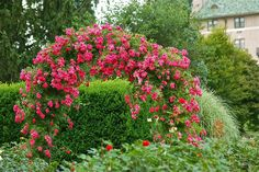 Beautiful pink rose arbor...
