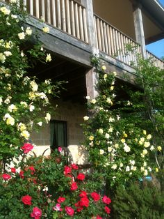 Climbing yellow roses with red Knock Out roses surround porch.