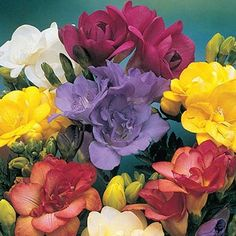 Double Freesia Mixture SKU: 19240 **Needs to be lifted in fall**