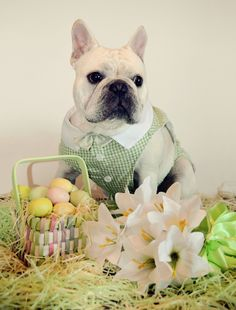 My Easter French Bulldog