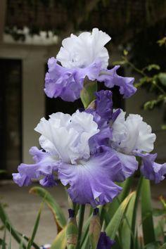 Iris'