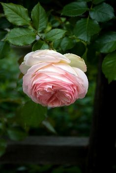 'Eden Rose',  a Hybrid Tea, is also know as 'Pierre de Ronsard'. This  one is a climber.