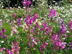 Linaria-maroccana-Northern-Lights-Mixture-Toadflax-5000-Seeds