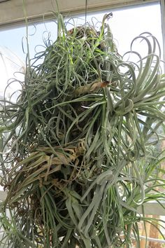 Bromeliad plants called Tillandsia