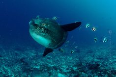 Go to Bali and see some lovely sunfish there. Lombok, Scuba Diving, Whale, Surfing, Yoga, Fish, Pets, Animals, Diving