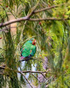 Aussie Christmas, Christmas Time, Bird, Animals, Animales, Animaux, Birds, Animal, Animais