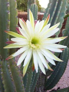 Cereus hildmannianus subsp. uruguayanus - Spiny Hedge Cactus