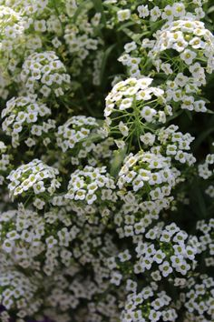 Tried & True Lobularia Silver Stream | Garden must-have! Sweet, honey-like fragrance. Easy to grow. The perfect filler for mixed containers. Read more: http://tried-and-true.com/annuals_variety/lobularia-silver-stream™/