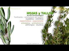 Planta de Tomillo. Nombre científico. Identificación, contenido y principios activos del Tomillo. Propiedades medicinales del Tomillo. Usos del Tomillo. http://www.plantas-medicinal-farmacognosia.com/productos-naturales/tomillo/