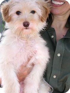 Santa Monica, CA - Havanese/Wheaten Terrier Mix. Meet Butterscotch a Dog for Adoption.