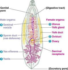 another digestive system picture
