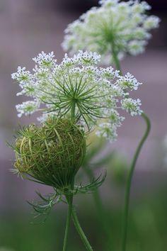 White Flowers, Beautiful Flowers, Queen Anne's Lace Flowers, Queen Annes Lace, White Gardens, Ikebana, Dream Garden, Garden Plants, Flower Art