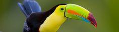 "Toucan Ramphastos sulfuratus ""A bright-colored barometer"""