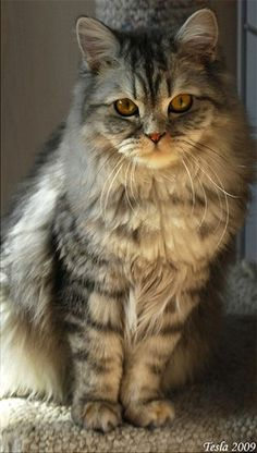 Rare cat breeds and Breed information - British Semi-Longhair Cat
