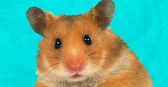 Super weird facts that you may or may not have known about your hamster.