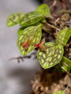lepanthes barbelifera