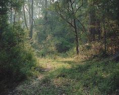 Eucalyptus Diversifolia : Photo