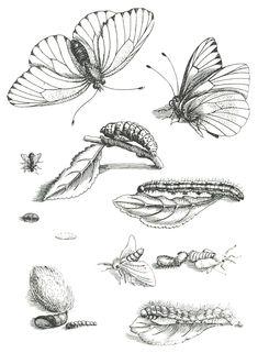 Pioneering Naturalist Maria Sibylla Merian   Nash Turley