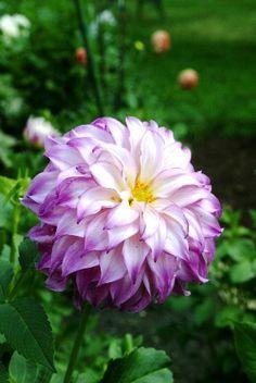 ~~Vassio Meggos Dahlia   Oh What a Beautiful Garden~~