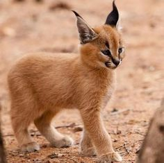 baby Caracal | Namibia Wildlife Sanctuary