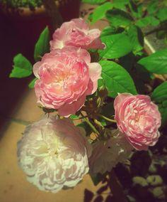 Rosas Santa Teresinha - Maio 2015