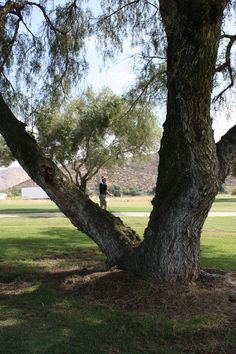 Another tree from Steel Canyon Golf Course - San Diego, CA.