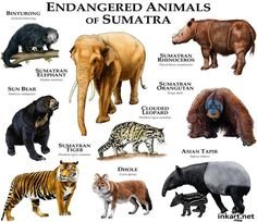 Endangered Animals of Sumatra.....ROGER D HALL.....a scientific illustrator specializing in wildlife and architectural subjects....predominantly self-taught....works with pen and ink....artwork has appeared in numerous media (newspaper, books, website, etc)....a Minnesota native now based in Oakland, California....associated with several zoos and aquariums in the US