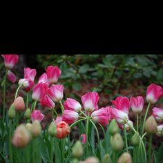 Tulips by kelliclark