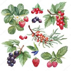 Find Watercolor Illustrations Berries stock images in HD and millions of other royalty-free stock photos, illustrations and vectors in the Shutterstock collection. Watercolor Pattern, Watercolor Illustration, Watercolour Painting, China Painting, Food Illustrations, Botanical Prints, New Art, Flower Art, Drawings