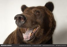 A federally threatened grizzly bear (Ursus arctos horribilis) at the Sedgwick County Zoo.