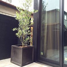 Olive Tree, Potted Plants, House Plants, Entrance, Interior, Green, Flowers, Gardening, Women's Fashion
