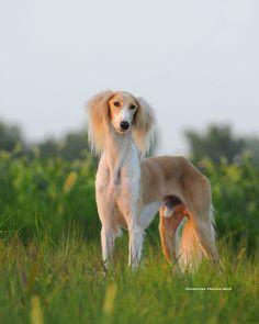 #Saluki #Malibu #dogs