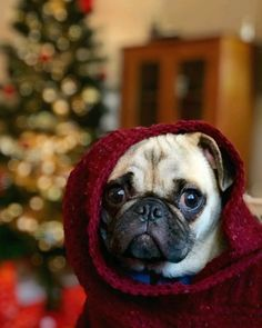 My two favorite things, pugs and Christmas! Cute Pug Pictures, Cute Dogs Images, Pug Pics, Animals And Pets, Cute Animals, Cute Pugs, Funny Pugs, Pug Christmas, Baby Pugs