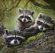 r christopher vest artist | Raccoons On Forest Log Print by R christopher Vest