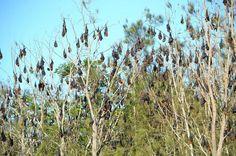 Bat dispersal estimated to cost $6.2 million | Megabats and Microbats