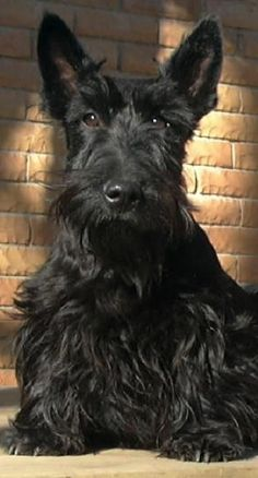 Here's Duncan, the fierce, loyal, Scottish Terriers. I am Keeper of the Truth. Aye, that's me, now where's my crown?...................#dogs #pets   Sherman Financial Group