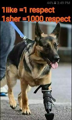 GSD with a prosthetic leg