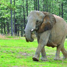 A Royal Elephant