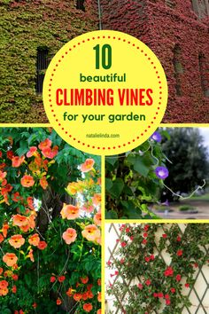 one of these 10 climbing vines if you're looking to beautify your yard! Grow them on a trellis, pergola or fence!Grow one of these 10 climbing vines if you're looking to beautify your yard! Grow them on a trellis, pergola or fence! Climbing Flowers, Climbing Vines, Wall Climbing Plants, Vine Trellis, Garden Trellis, Trellis Ideas, Garden Gates, Shade Perennials, Flowers Perennials
