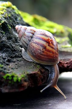 Snail by Arief on Snail Art, Sea Snail, Snail Shell, Amazing Animals, Cute Animals, Bugs And Insects, Reptiles And Amphibians, Animals Of The World, Nature Animals