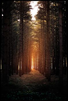 Sunrise breaking through Horsford Woods, north of Norwich, England